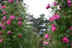 rosarium05.jpg