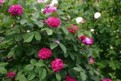 rosarium06.jpg