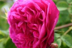 rosarium09