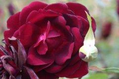 rosarium10.jpg
