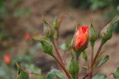 rosarium14.jpg