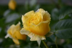 rosarium15