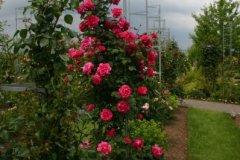 rosarium18.jpg