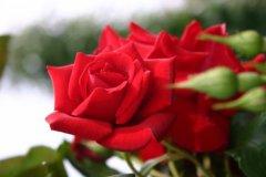 rosarium19.jpg