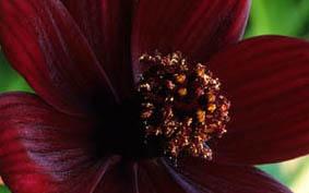 Sokkold a szomszédokat: csokoládé illatú virág