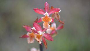 Az orchidea nem halt meg, csak elhervadtak a virágai