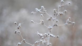 Kopogtat a tél: zúzmara a csipkebogyón
