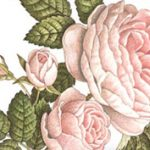 Dacolj a hideg téllel: rózsák a fürdőszobában