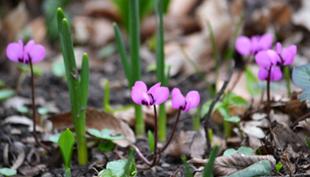 Tavaszi virágözön a Vácrátóti Botanikus Kertben