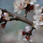 Hello tavasz! Teljes virágzatban a barackfa