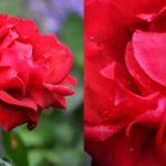 Nincsen kert rózsa nélkül - A rózsa szaporítása