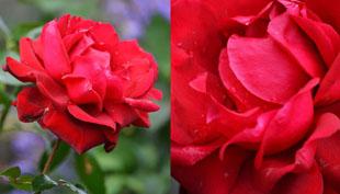 Nincsen kert rózsa nélkül – A rózsa szaporítása