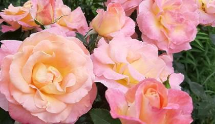 A rózsa szaporítása: gyökereztetés és dugványozás