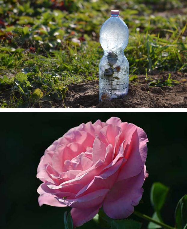 Rózsa dugványozása