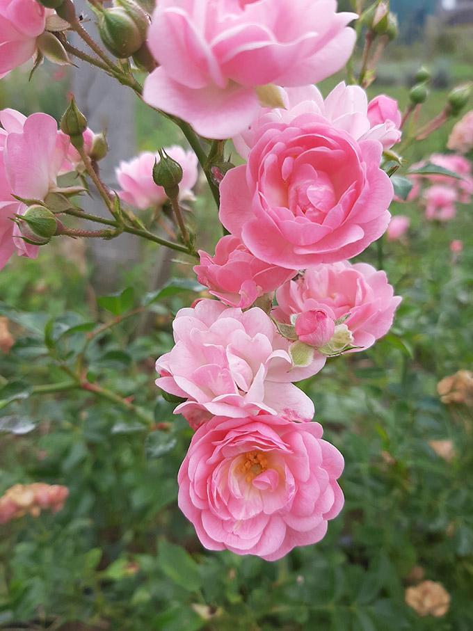 Terülő rózsa szaporítása dugványozással/Fotó: Myreille