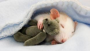 Cukker-faktor: patkányok, plüssök és bájos fotók