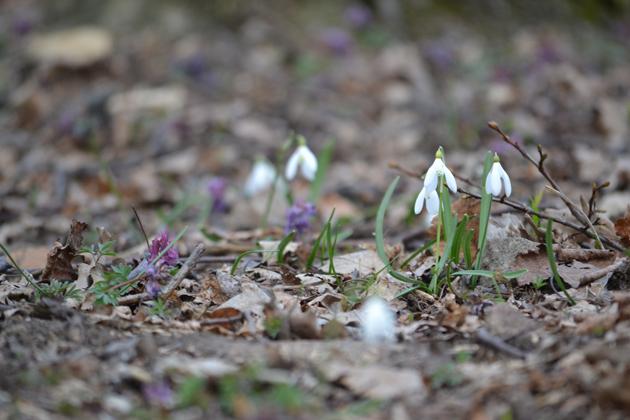 Hóvirág és ujjas keltike/Fotó: Myreille, 2015