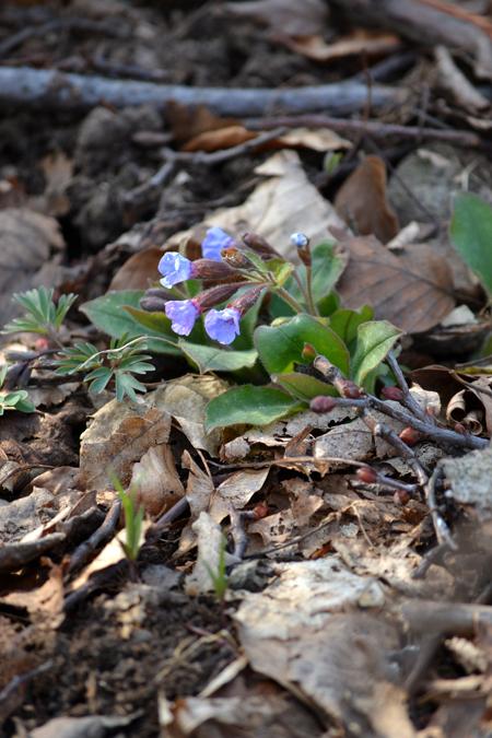 Orvosi tüdőfű, petyegetett tüdőlevél vagy dongófű. A növényhatározó szerint nagyobb növény szokott lenni (15-30 centi magas), de ezek az aprók is bájosak voltak. Virágzás előtt rózsaszín a bimbó, a virág viszont kék./Fotó: Myreille, 2015