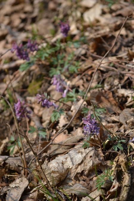 Ujjas keltike, a lila viszont sűrűn nő az erdőben/Fotó: Myreille, 2015