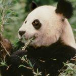 Vadon élő óriáspandák száma: 1864