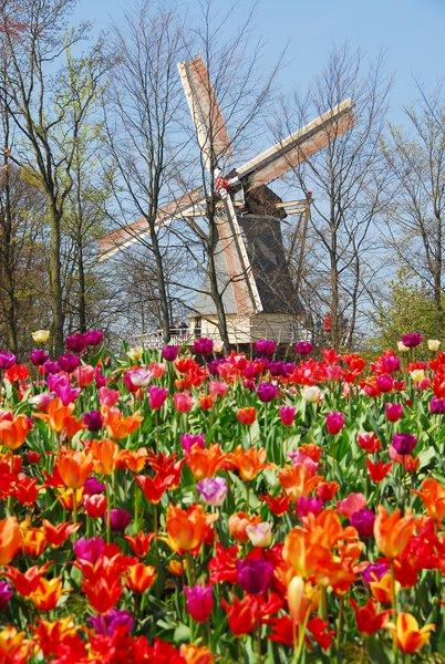 Szélmalom és tulipán. Hello Hollandia! Hello Keukenhof!/Fotó: keukenhof.nl