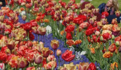 7 millió tavaszi virág egyetlen hatalmas kertben