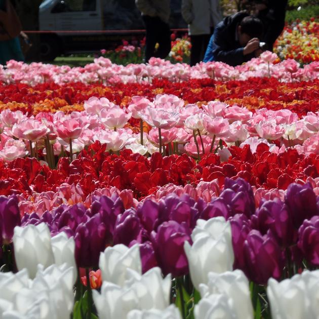 """1949-ben rendeztek először """"Tulipán-fesztivált"""" a kertben. Tavaszi virághagymák exportjával foglalkozó üzletkötők 20 gumót ültettek el és mutattak be. 2015-ben 66. alkalommal nyitotta meg a kapuit Keukenhof és a kertet idén 7 millió nyíló virág öltöztette./Fotó: Timi"""