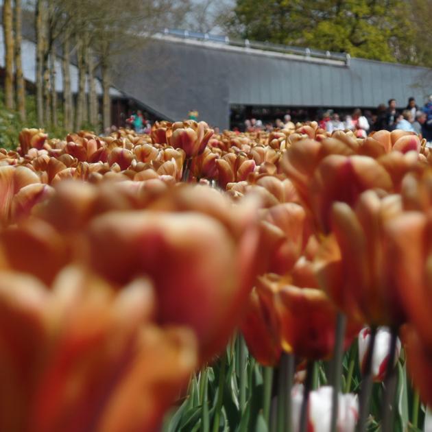 Tulipánok és emberek/Fotó: Timi