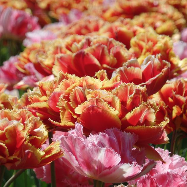 Idén 800 fajta tulipánt virágzott a kertben, de nyíltak nárciszok, jácintok, császárkoronák is./Fotó: Timi