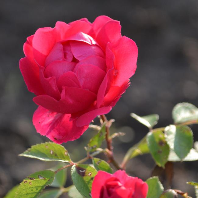 Tavaly még csak egy földbe dugott rózsaág volt, most viszont már virágzik. (Fotó: Myreille)