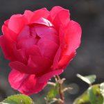 Ilyen rózsa nőtt a PET-palack alatt!
