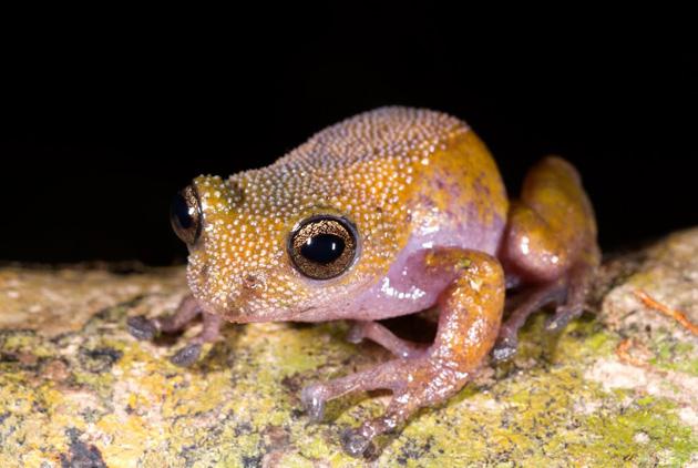 Gracixalus lumarius (Fotó: WWF)