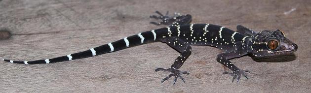 Cyrtodactylus vilaphongi (Fotó: WWF)