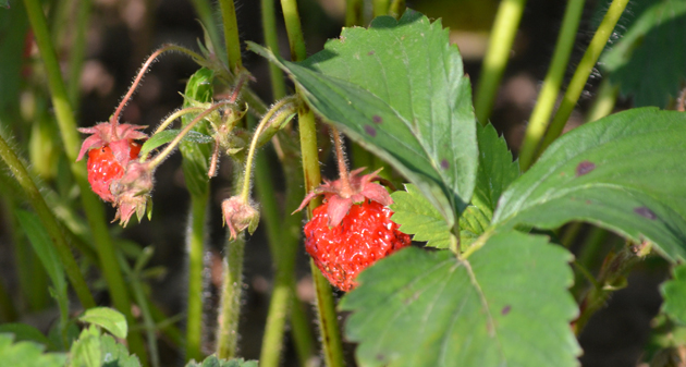 A kert mindent belead. A piros eprek - tudom, szamóca, hivatalosan - között még virágokat is találok. (Fotó: Myreille)