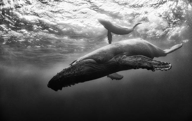 Hosszúszárnyú bálna borjával a mexikói Roca Partida Island partjainál. Fotó: Anuar Patjane