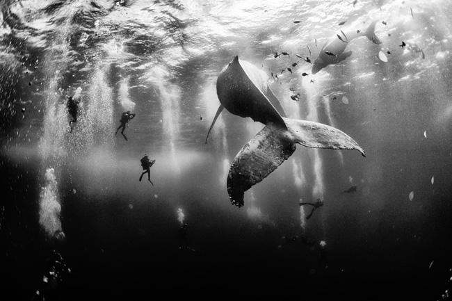 Még mindig a hosszúszárnyú bálna borjával a mexikói Roca Partida Island partjainál, csak másik nézőpontból. Fotó: Anuar Patjane