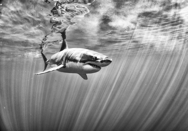 A nagyszerű fehér cápa -  Guadalupe (Mexikó). Fotó: Anuar Patjane