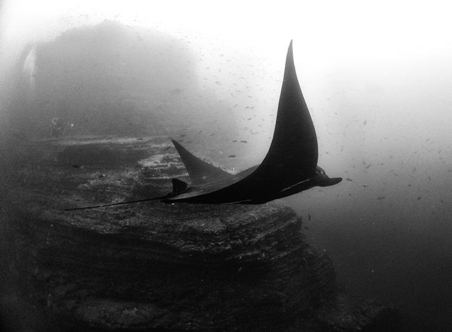 Atlanti ördögrája. Fotó: Anuar Patjane