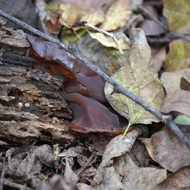 Elhalt, lomos fákon tanyázik a Júdásfülgomba (Auricularia auricula-judae) gomba és egész éveben találkozni vele. Bodza bokrok környékén érdemes alaposan körülnézni, mert igen kedveli. (Fotó: Myreille)