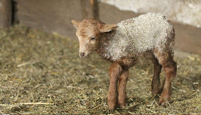 Curry, a bárány (Fotó: Piszke)