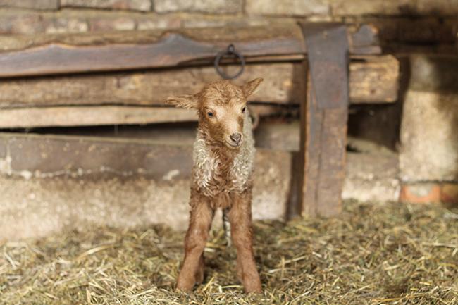 """Szó szerint """"maszületett"""" bárány (Fotó: Piszke)"""