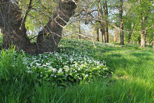 Virágzik a medvehagyma/Dég - Fotó: Vidra