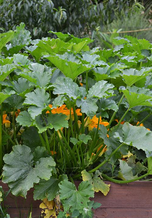 Vidéken élni jó: cukkinik a kertünkben (Fotó: Myreille)