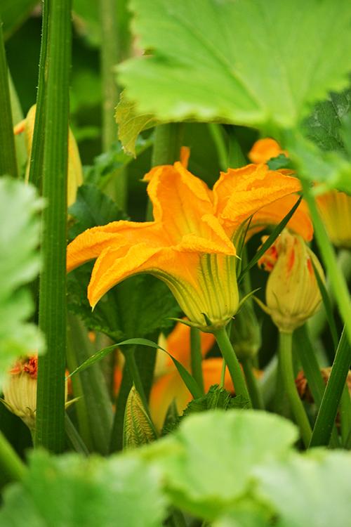 A cukkinik őrülten virágoznak és a pozós virágok remek alapanyagai a reggelinek. (Fotó: Myreille)