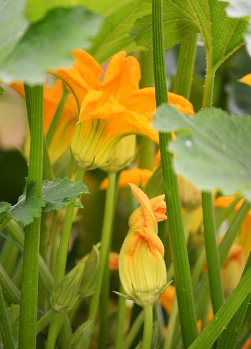 Virágdzsungel a cukkinilevelek alatt (Fotó: Myreille)