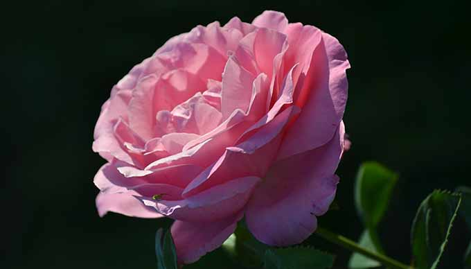 3 évvel ezelőtt kaptam egy ilyen gyönyörű rózsát és most a kertemben nyílik. (Fotó: Myreille)
