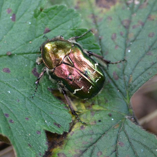 ... aranyban és rózsaaranyban játszó bogarakkal. (Fotó: Myreille)