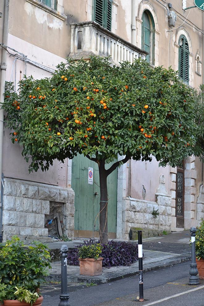Narancsfák naranccsal - Taormina/Fotó: Myreille