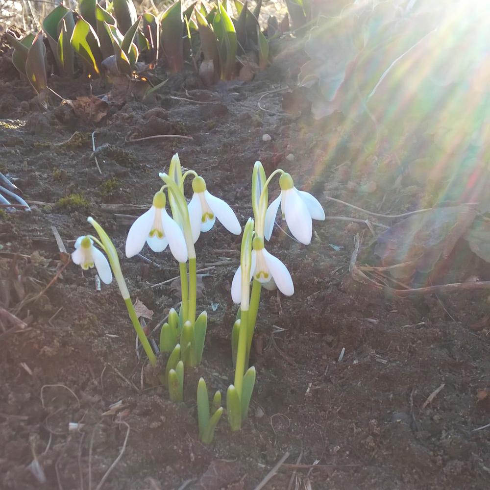 Hóvirág a kertemben/Fotó: Myreille