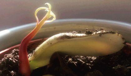 A mangó titkos élete – Hogyan neveljünk mangót magról?